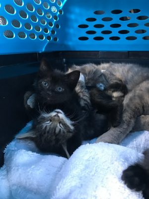 penny_kittens_being_transported_400x533